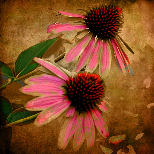 Coneflower Memory by Mary Beth Griffo Rigby