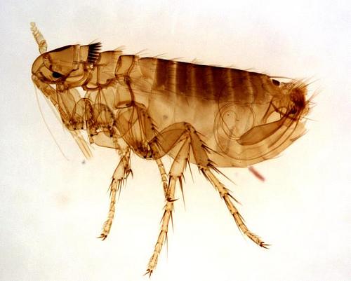 adult male Oropsylla Montana flea by Kat Masback