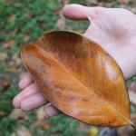 Magnolia Leaf by Connie Ma