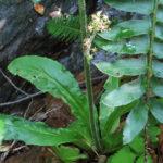 Swamp Saxifrage