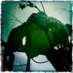 Concord Grape Leaf by Brian Pennington